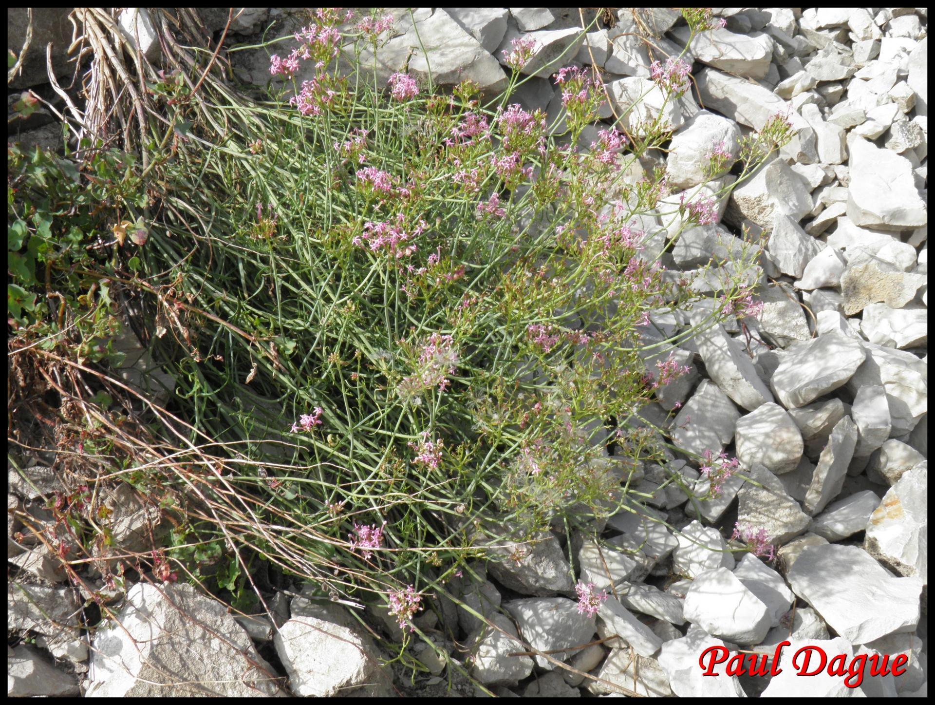 159 centranthe a feuilles etroites centranthus angustifolius valerianacee