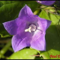 160 campanule a feuilles rhomboides campanula rhomboidalis campanulacee