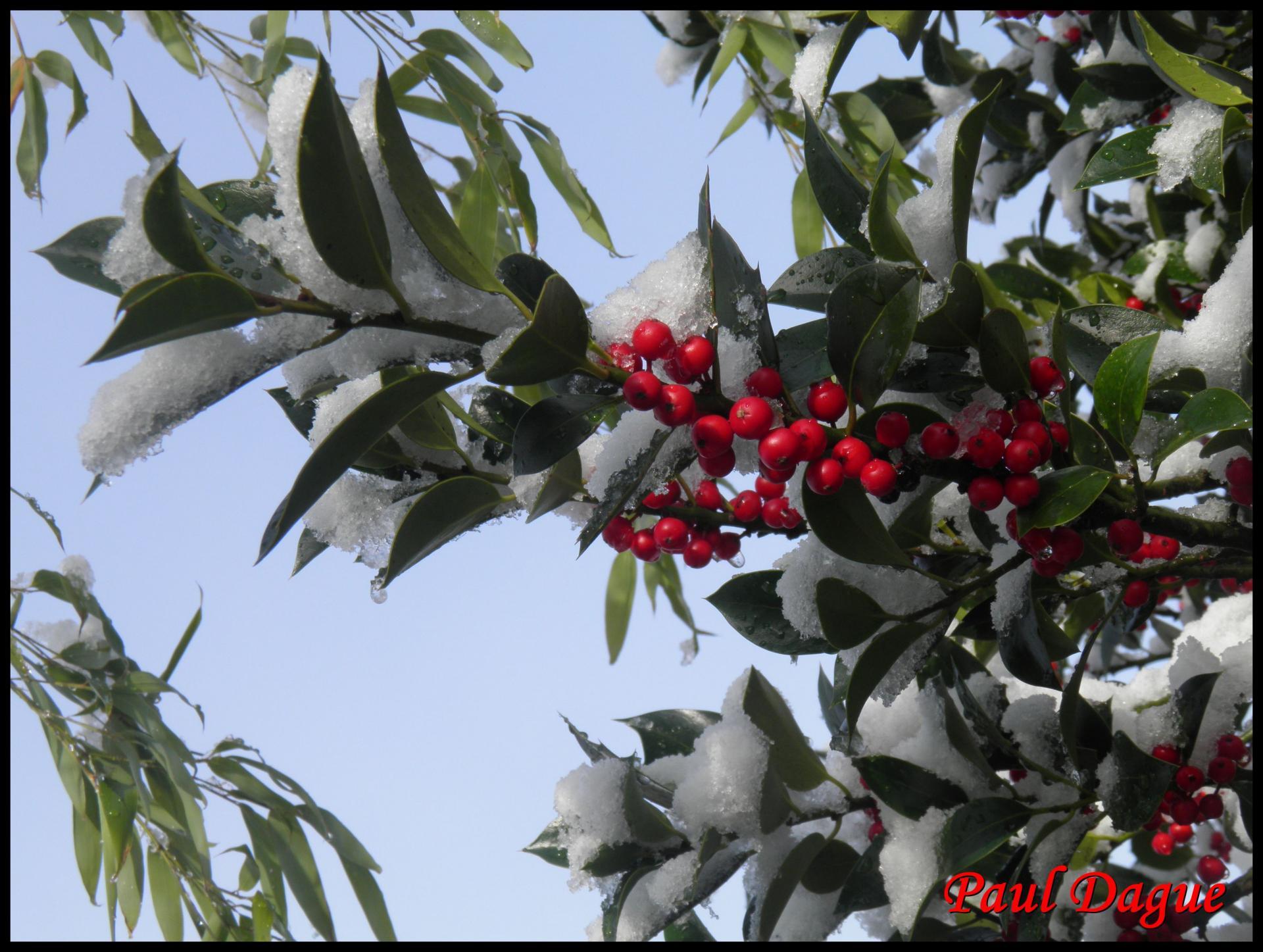 163 houx ilex aquifolium aquifoliacee