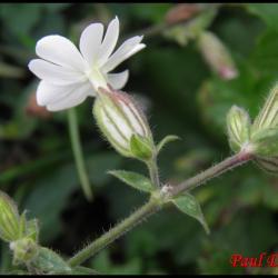 168 compagnon blanc silene latifolia caryophyllacee