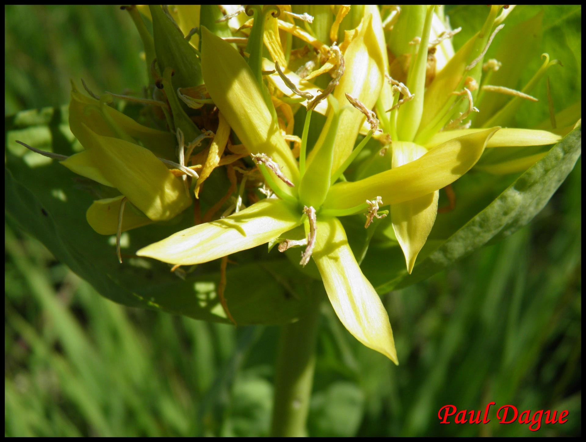 17 gentiane jaune gentiana lutea gentianacee