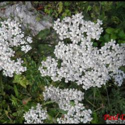 176 saigne nez achillea millefolium asteracee