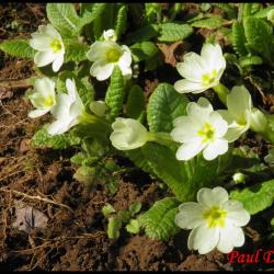 182 primevere acaule primula vulgaris primulacee