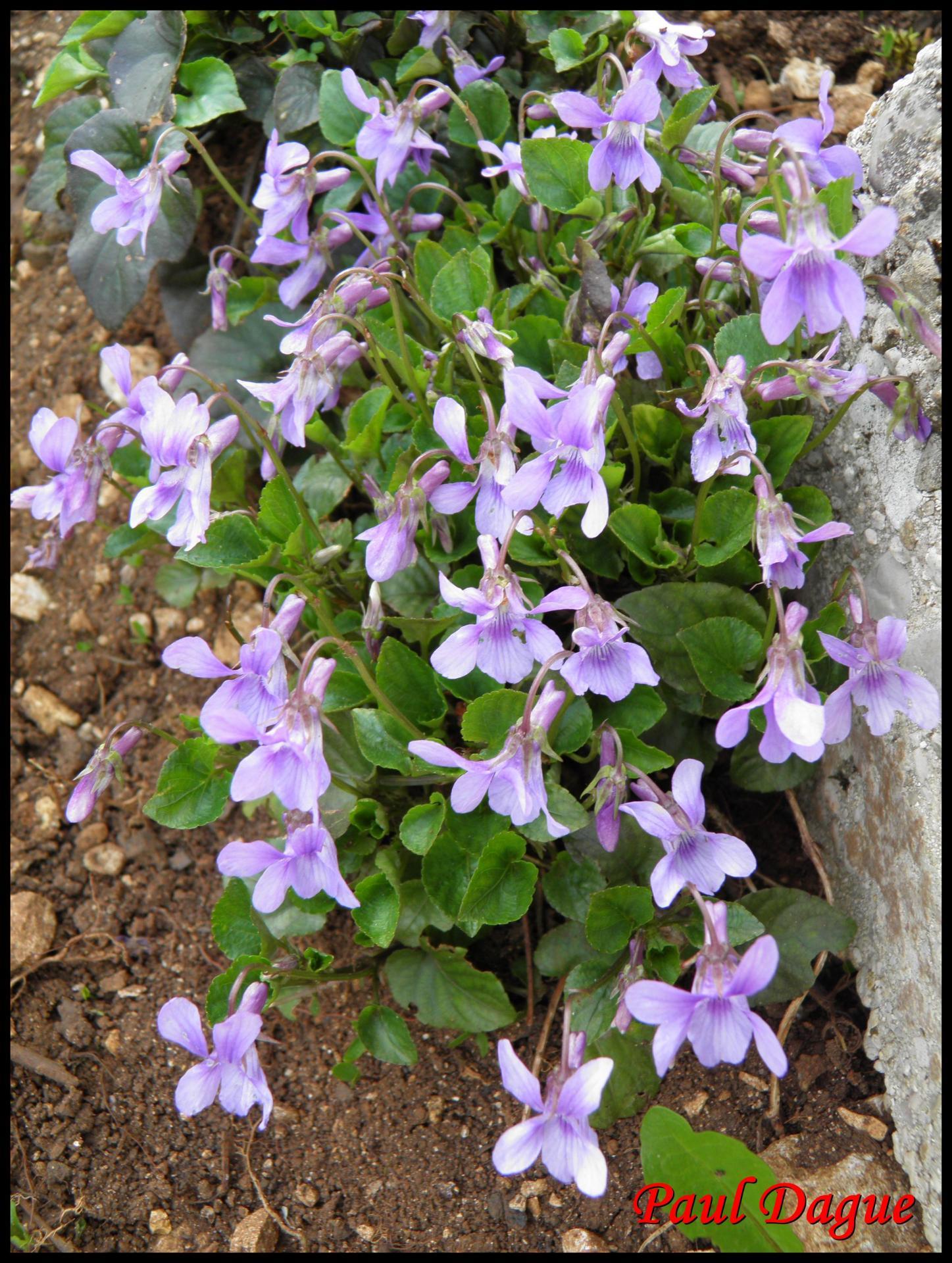 185 violette odorante viola odorata violacee