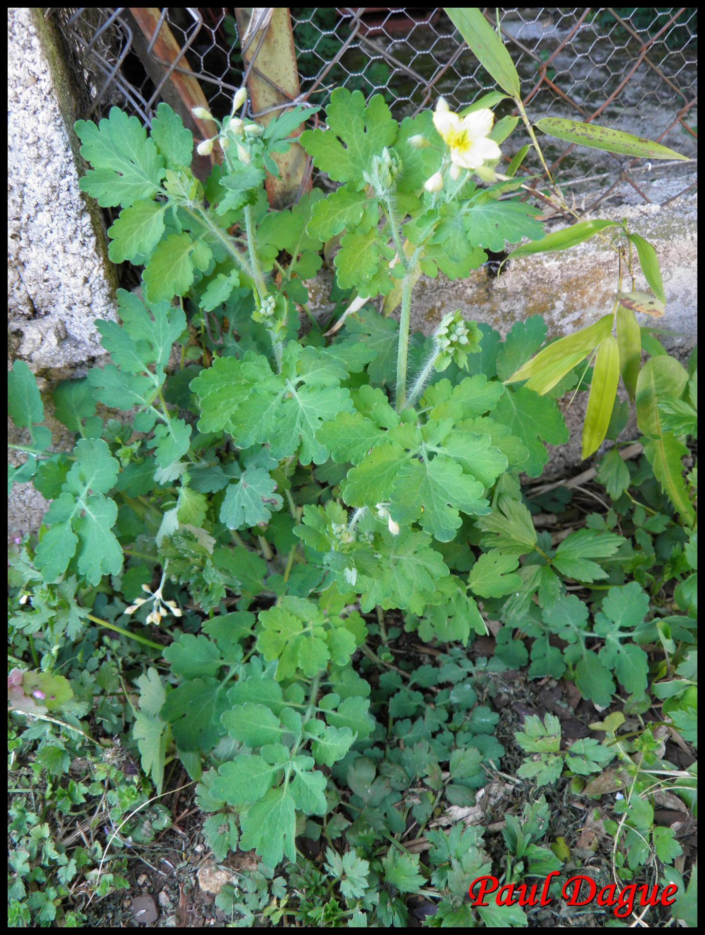 189 herbe aux verrues chelidonium majus papaveracee