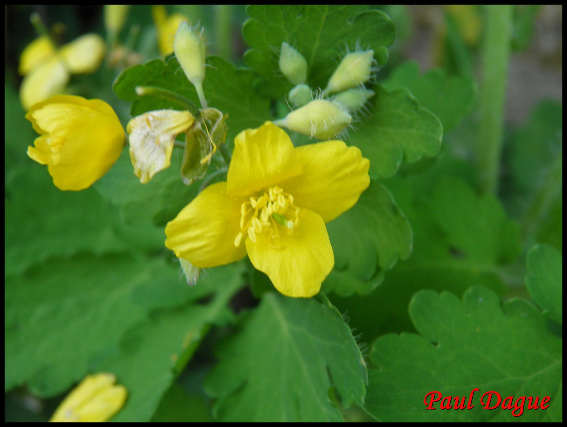 189 herbe aux verrues chelidonium majus papavéracée