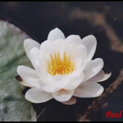 19 nenuphar blanc nymphaea alba nympheacee