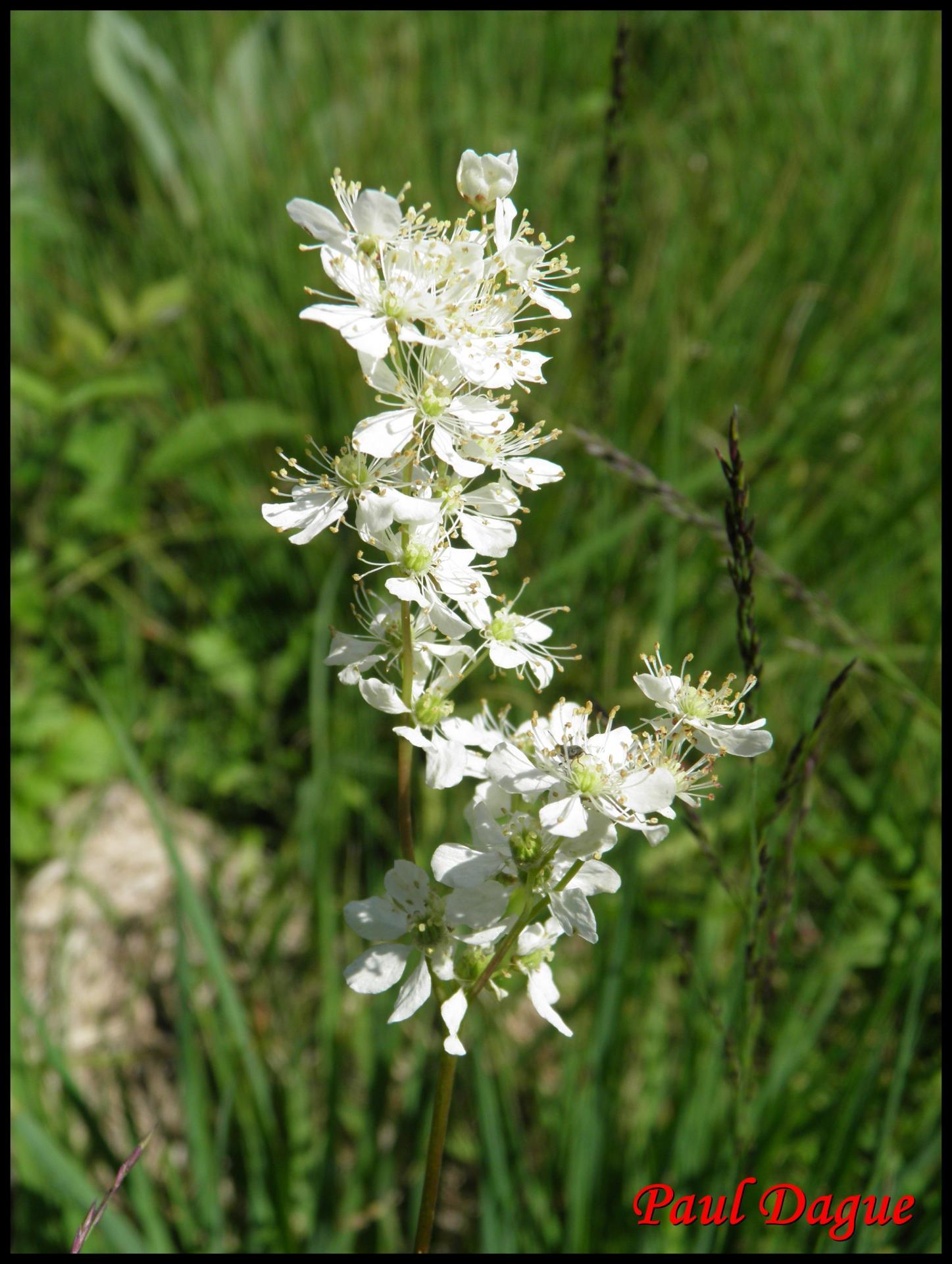191 filipendule a 6 petales filipendula vulgaris rosacee