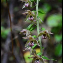 194 epipactis a larges feuilles epipactis helleborine orchidacee