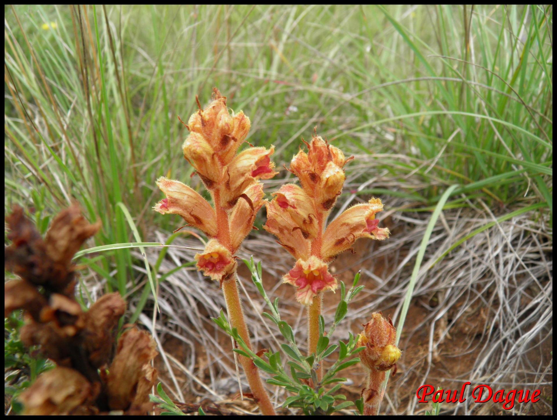 197 orobanche grele orobanche gracilis orobanchacee