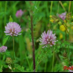 198 trefle des pres trifolium pratense fabacée