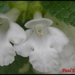 2 melitte a feuilles de melisse melittis melissophyllum lamiacee
