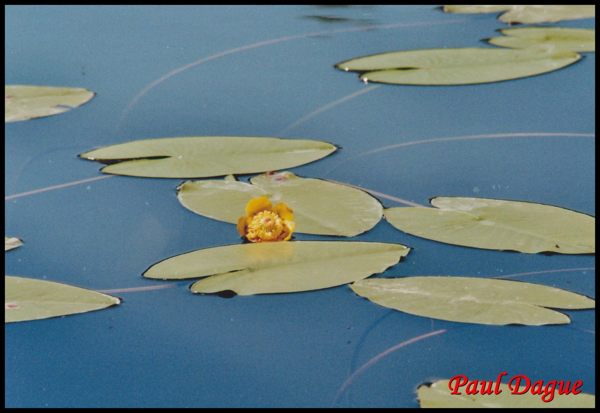 20 nenuphar jaune nuphar lutea nympheacee