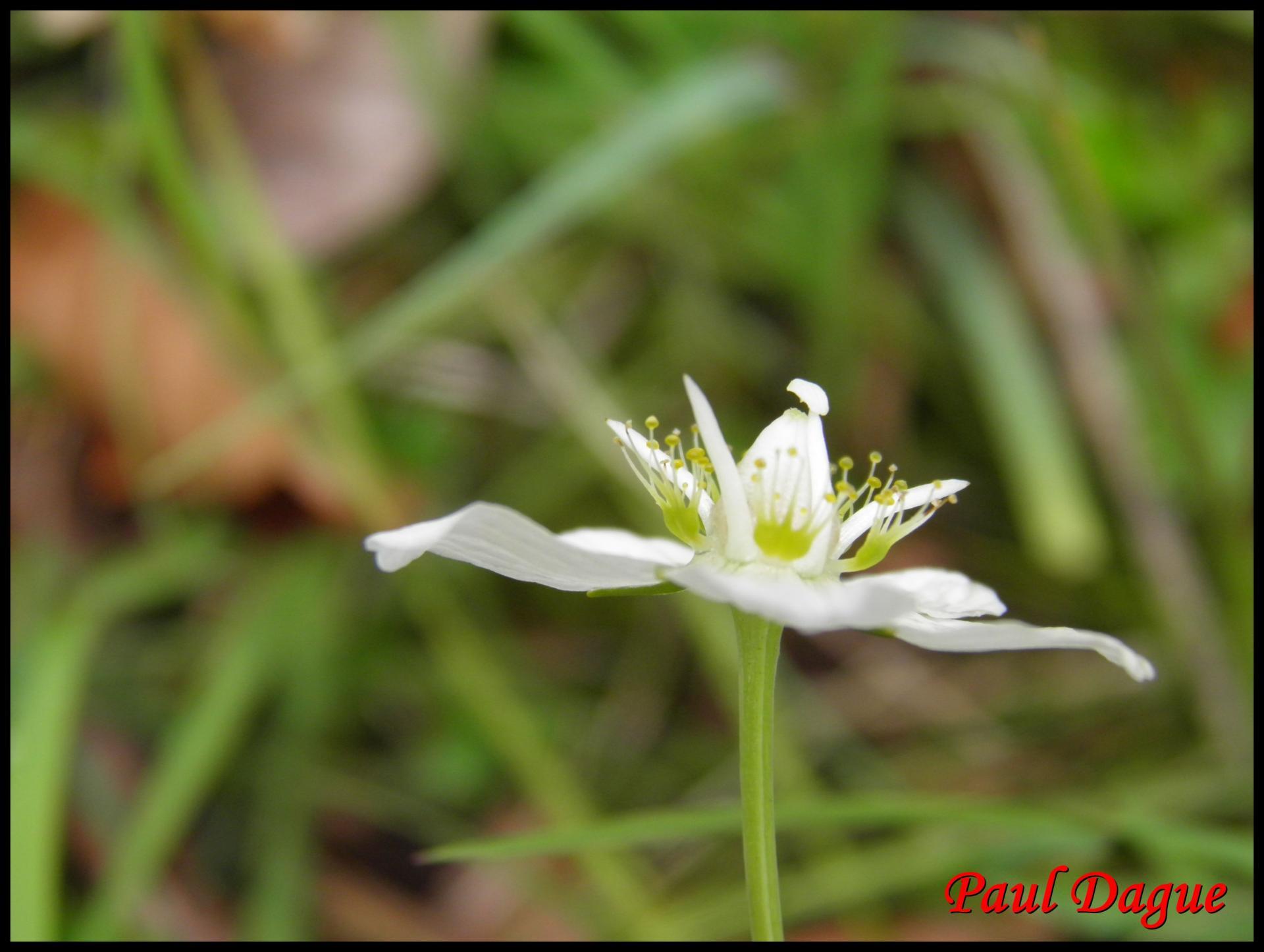 201 parnassie des marais parnassia palustris parnaciacee