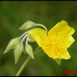 203 heliantheme sombre helianthemum nummularium cistacee