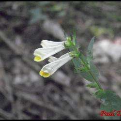210 melampyre des pres melampyrum pratense scrophulariacee