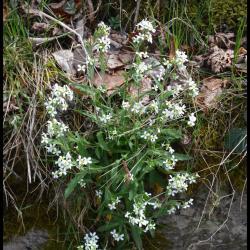 217 arabette des alpes arabis alpina brassicacée