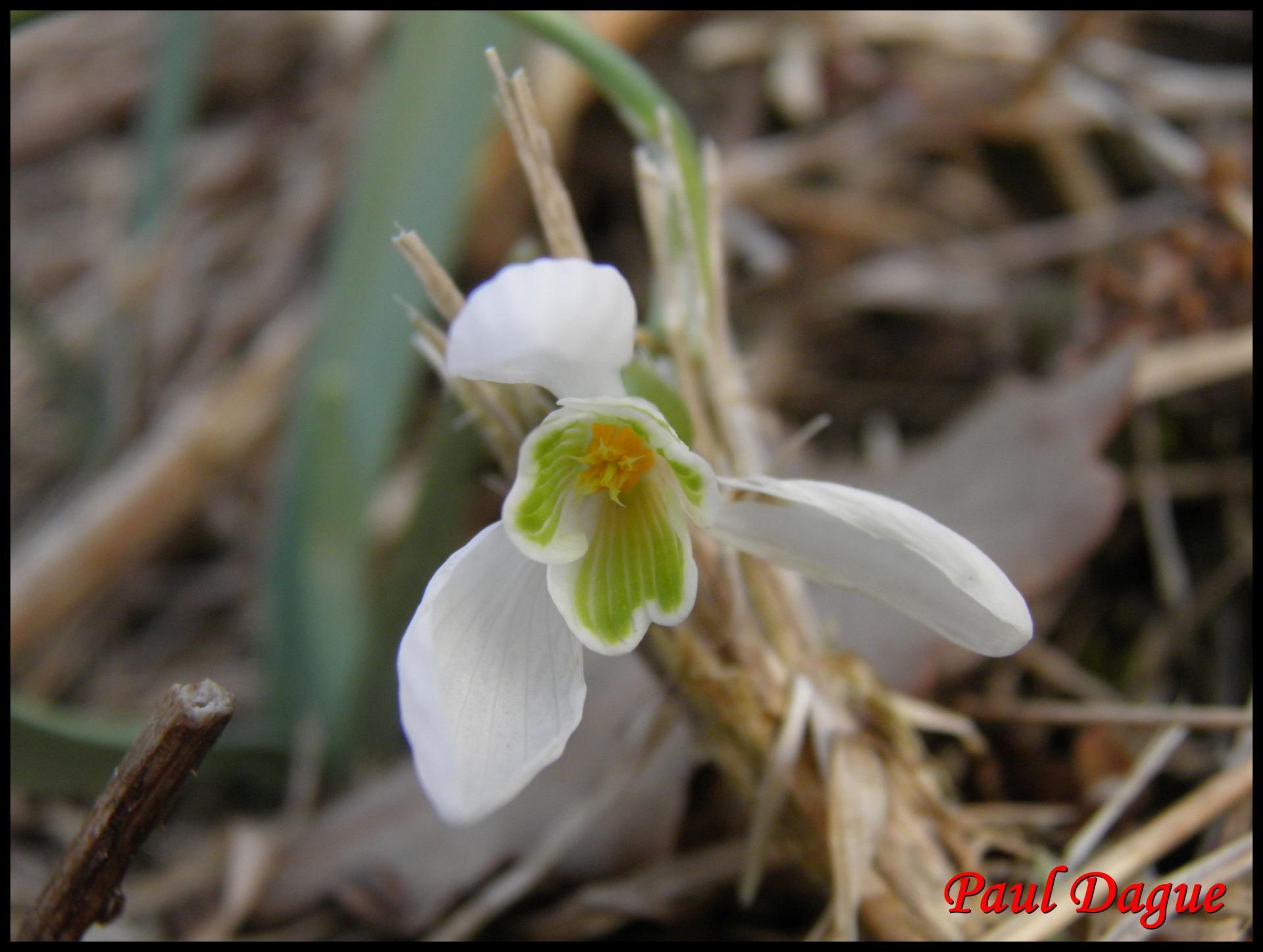 223 perce neige galanthus nivalis amaryllidacée