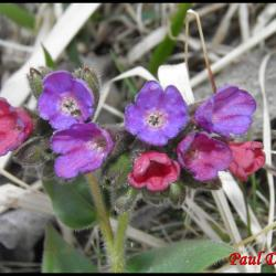 224 pulmonaire des montagnes pulmonaria montana boraginacée