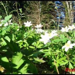 225 anemone des bois anemone nemorosa ranunculacée