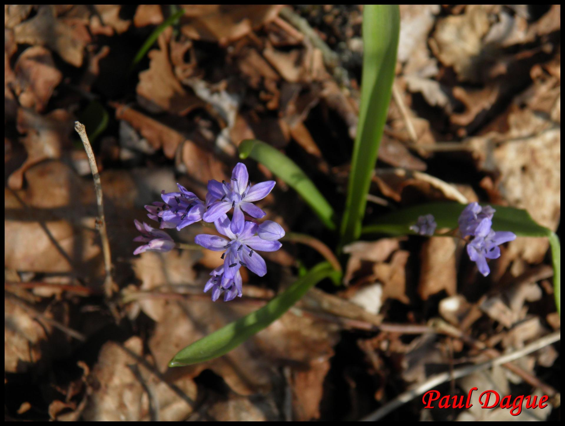 226 scille a 2 feuilles scilla bifolia hyacinthacée