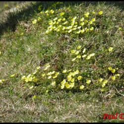 227 potentille du printemps potentilla neumanniana rosacée