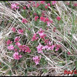 228 daphnee camelee daphne cneorum thymelaeacée