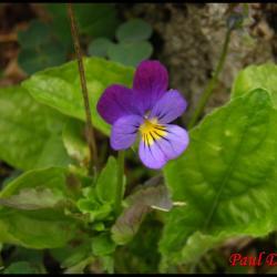 232 pensee tricolore viola tricolor violacée