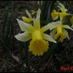 233 jonquille narcissus pseudonarcissus amaryllidacée