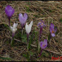 234 crocus du printemps crocus verna iridacée