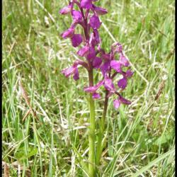 240 orchis bouffon anacamptis morio orchidacée