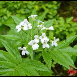 243 dentaire a 7 folioles cardamine heptaphylla brassicacée