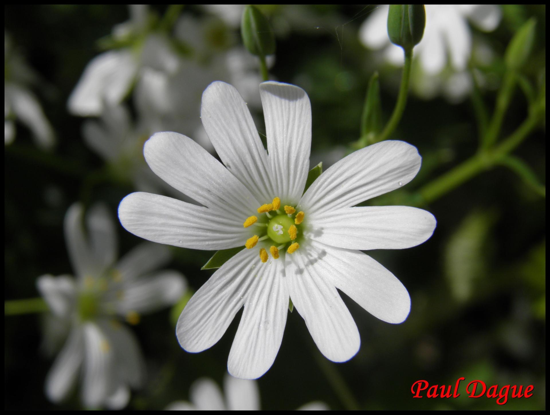 247 ceraiste des champs cerastium arvense caryophylacée