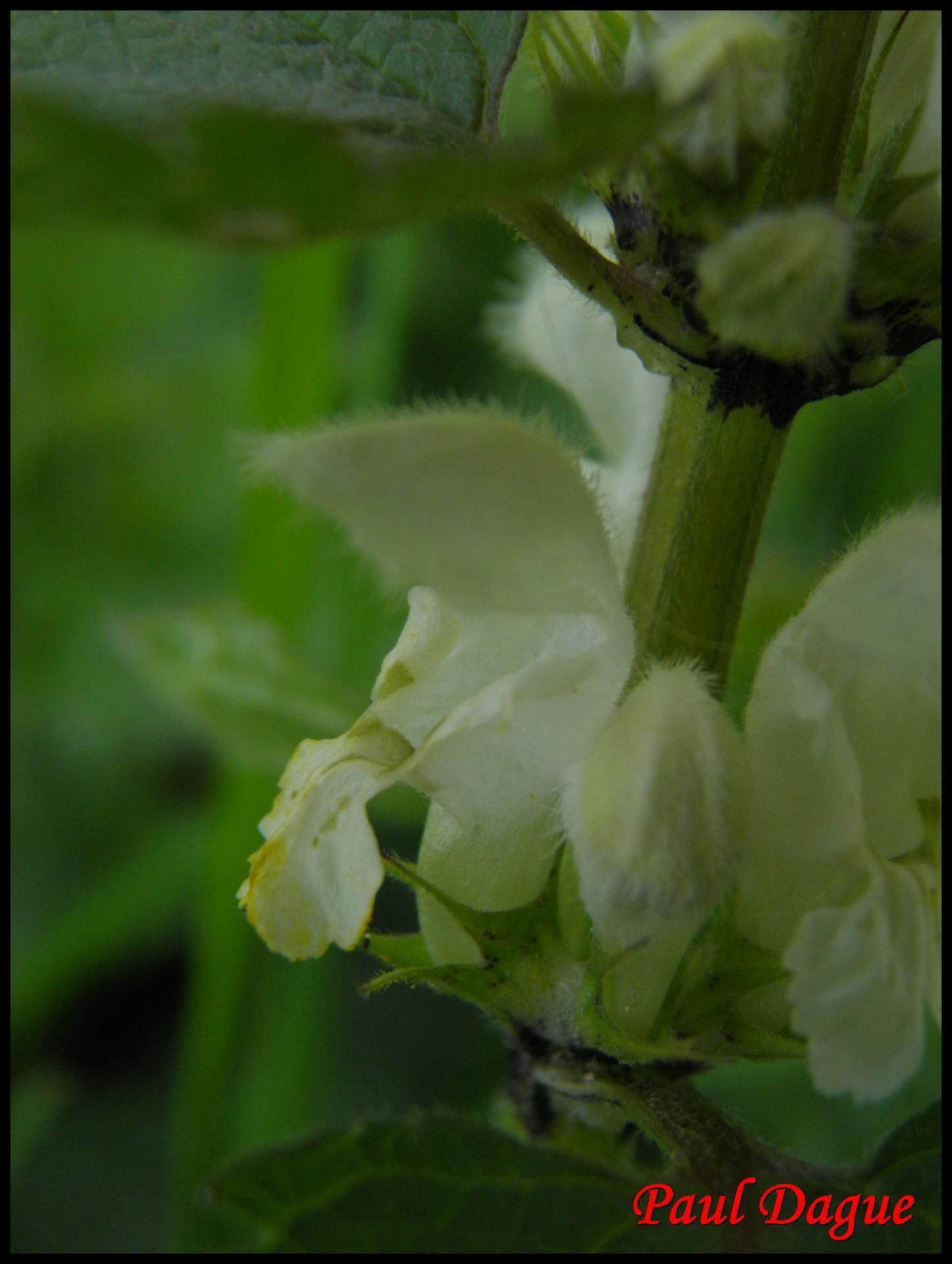 250 ortie blanche lamium album lamiacée