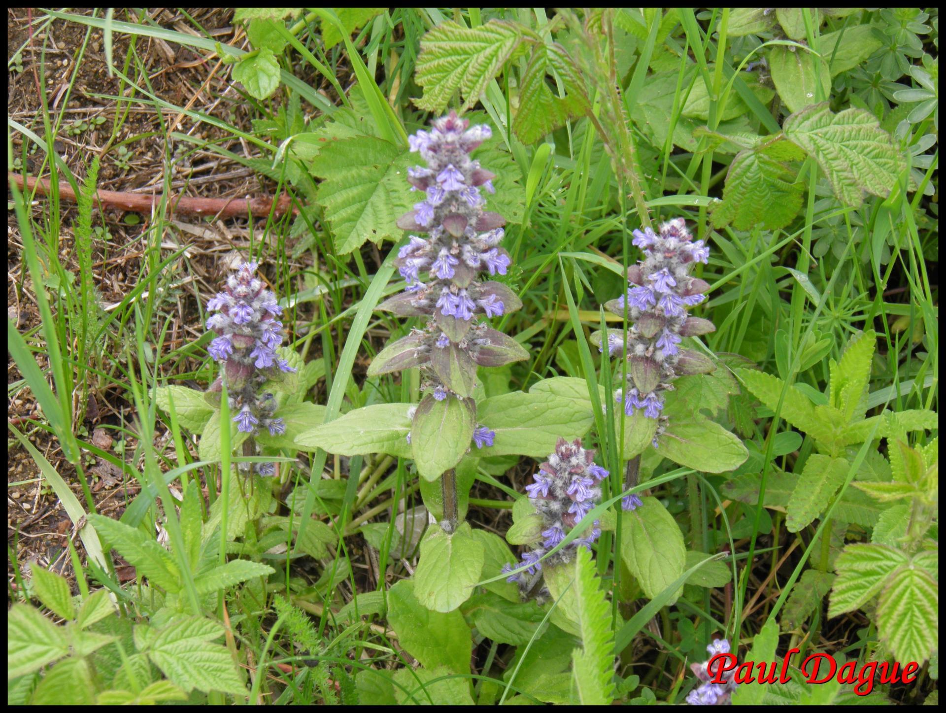 255 bugle de geneve ajuga genevensis lamiacée