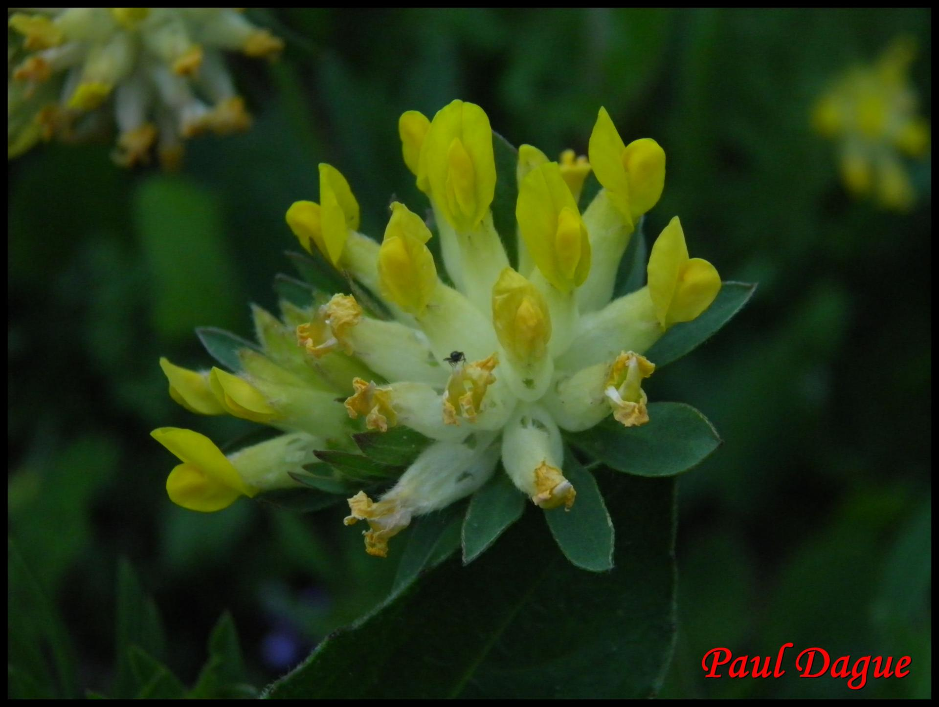 257 anthyllide vulneraire anthyllis vulneraria fabacée