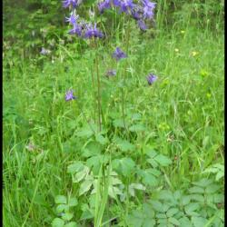 258 ancolie aquilegia vulgaris ranunculacée