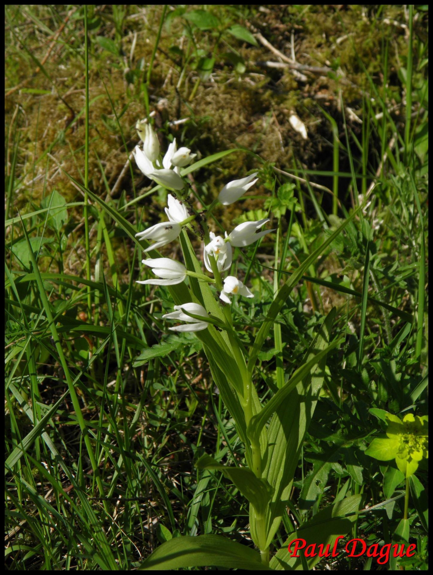 260 cephalanthere a feuilles etroites cephanlanthera longifolia orchidacée