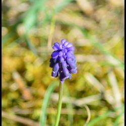 269 petit muscari muscari botryoides hyacinthacée