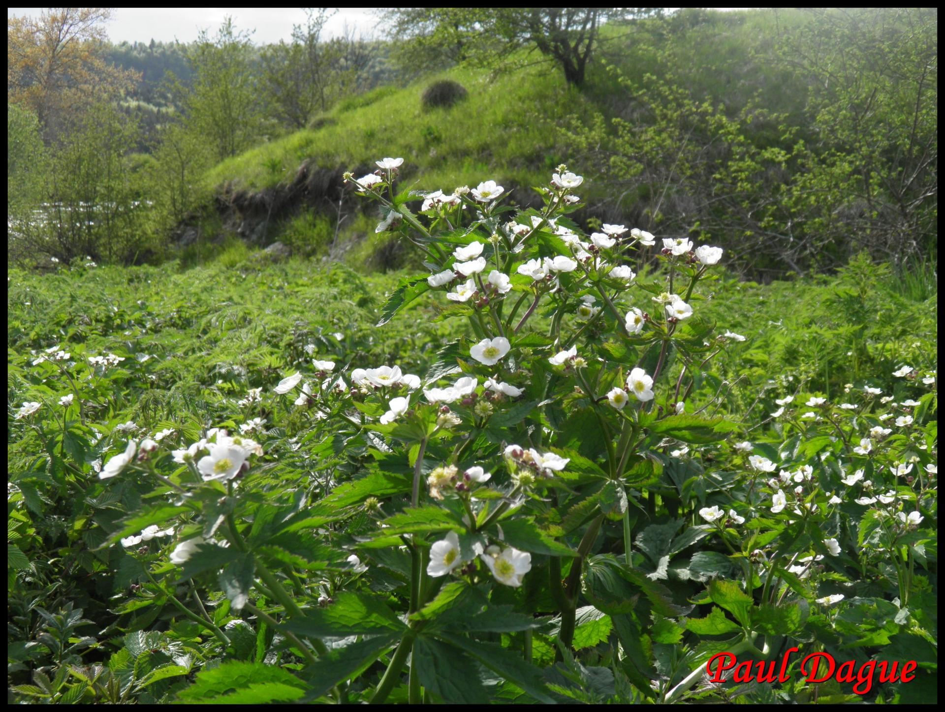 272 renoncule a feuilles d aconit ranunculus aconitifolius ranunculacée