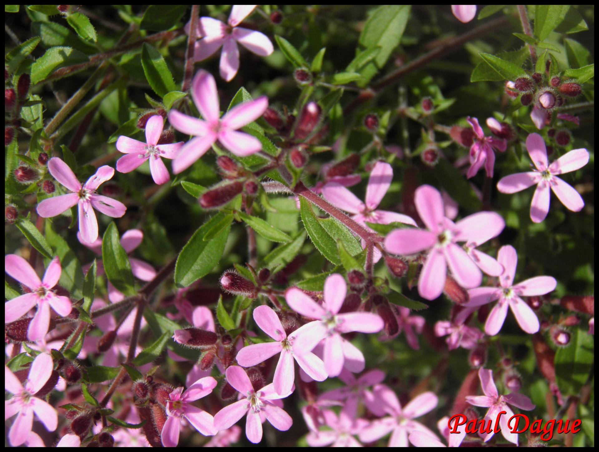 274 saponaire faux basilic saponaria ocymoides caryophyllacée