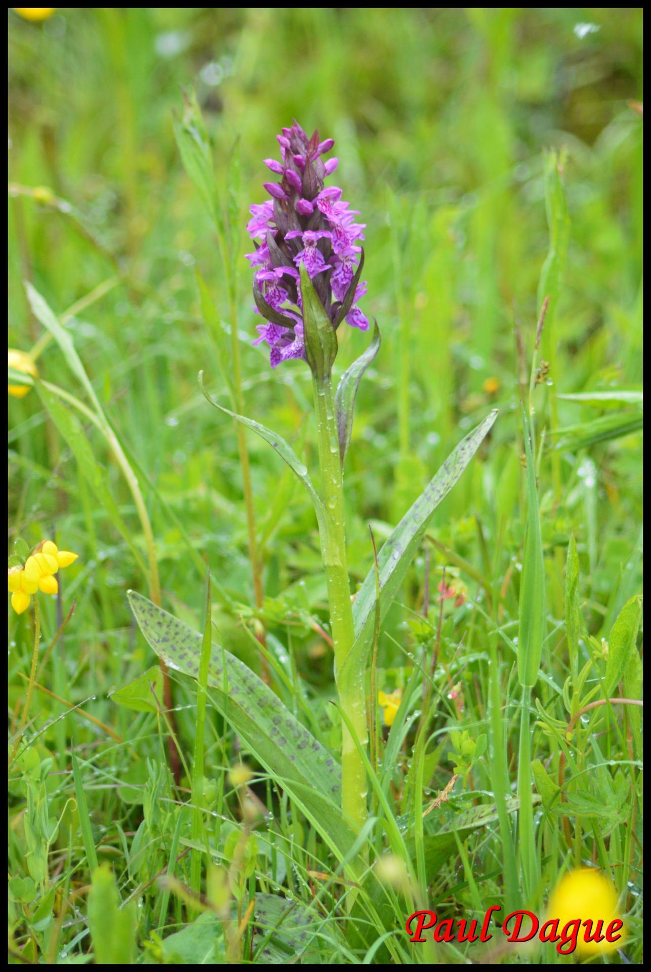 277 orchis a feuilles larges dactylorhiza majalis orchidaceae