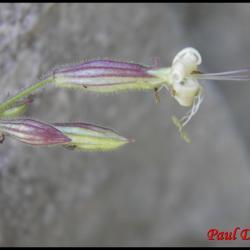 283 silene penche silene nutans caryophyllacée