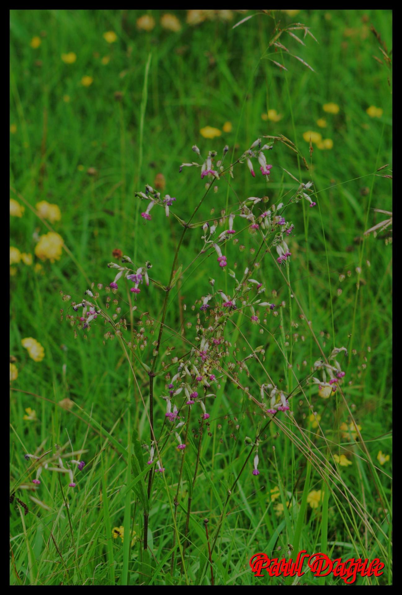 283 silene penche silene nutans caryophyllaceae 8 resultat resultat 1