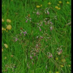 283 silene penche silene nutans caryophyllaceae