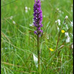 285 orchis incarnat dactylorhyza incarnata orchidacée