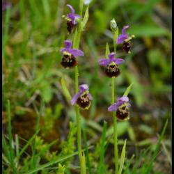 288 ophris bourdon ophris fuciflora orchidacée