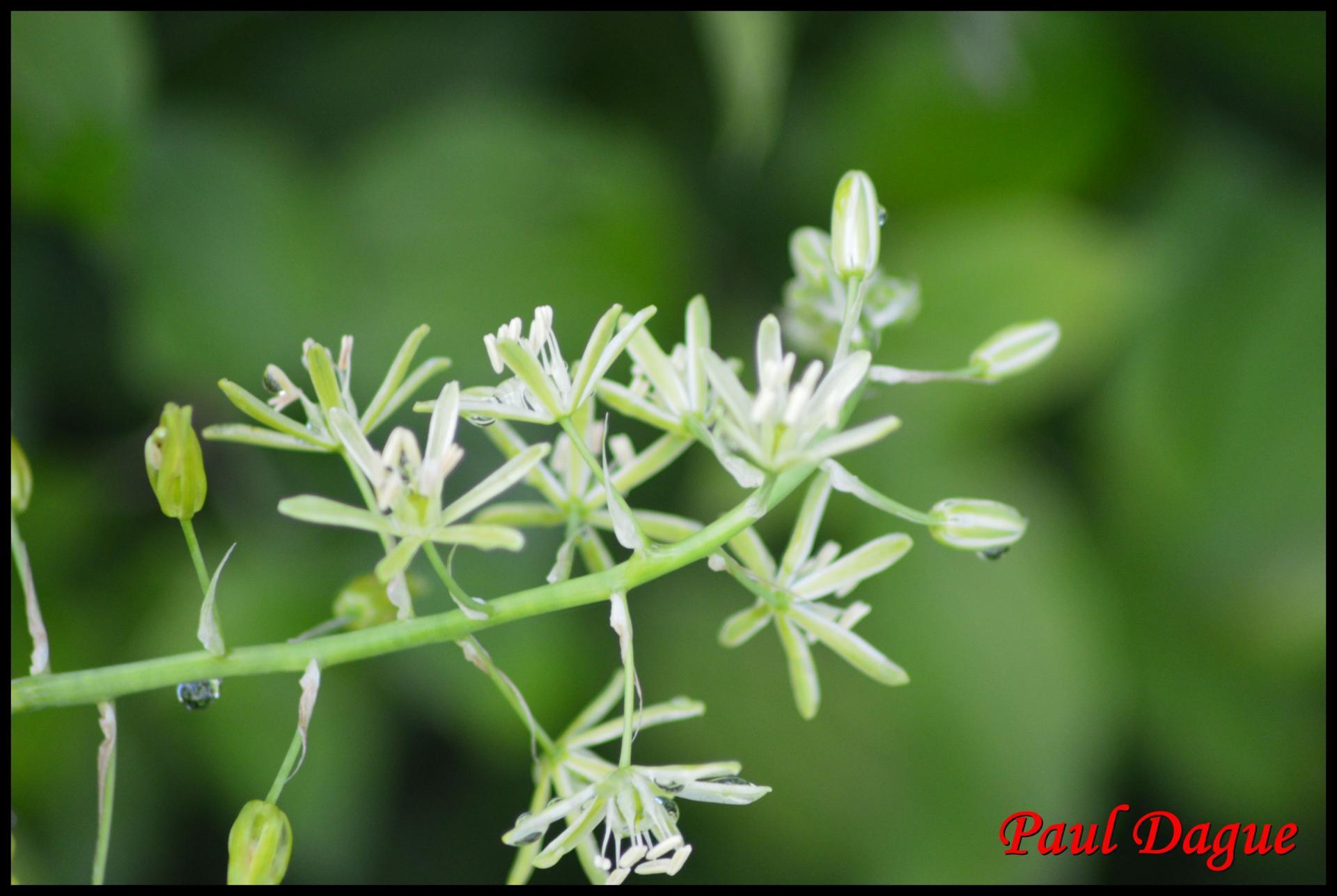 290 ornithogale des pyrenees ornithogalum pyrenaicum hyacinthacée