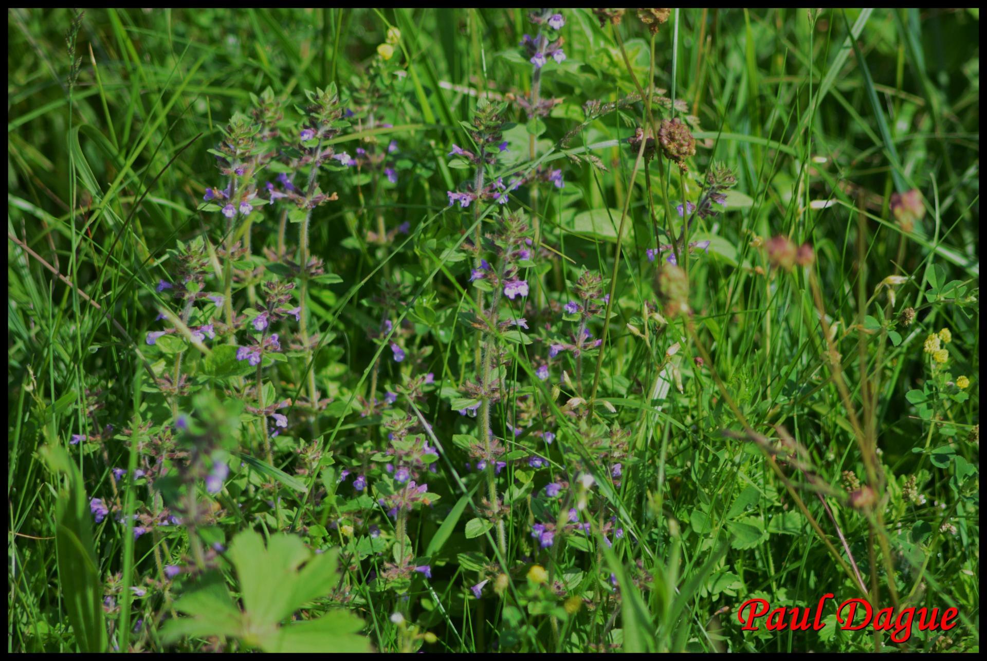 291 sariette des champs acinos arvensis lamiacée