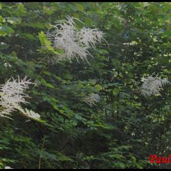 292 reine des bois aruncus dioicus rosacée